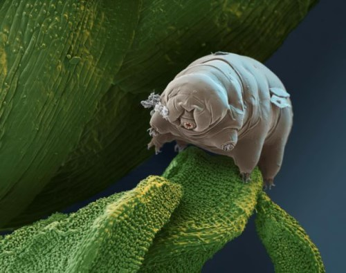 Cute water bear