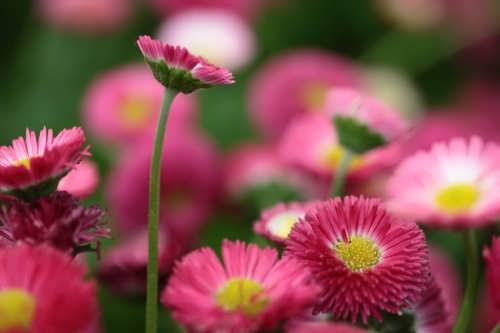 Daisy - pearl among plants