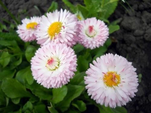 Wonderful daisies