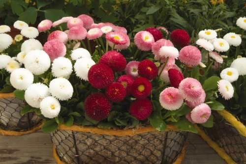 Charming daisies