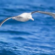 Diomedea exulans in flight