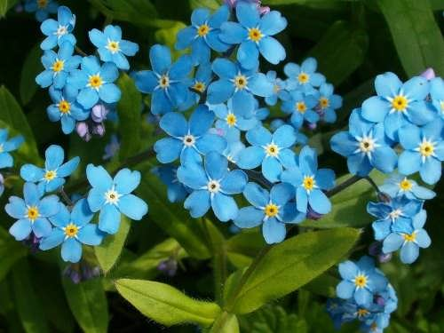 State flower - Forget-me-not
