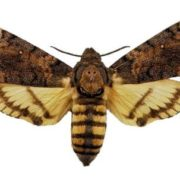 Gorgeous Death's-head hawkmoth
