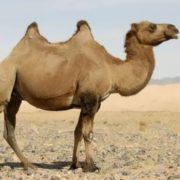 Gorgeous camel