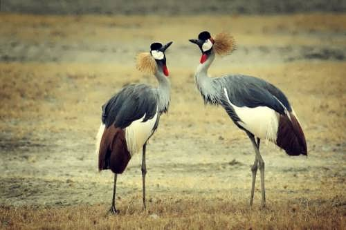 Gorgeous cranes