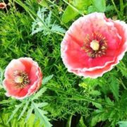 Gorgeous poppies