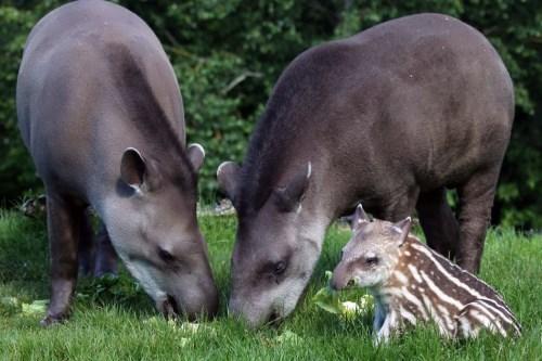 Gorgeous tapirs