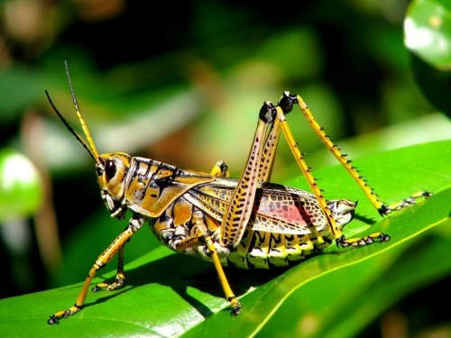 Graceful grasshopper