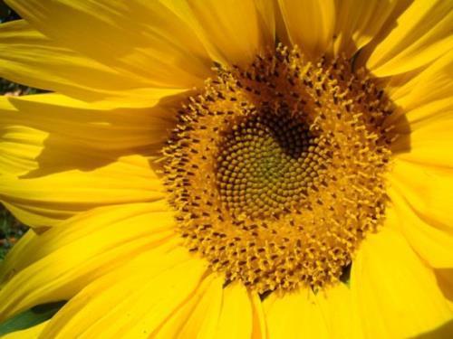 Graceful sunflower