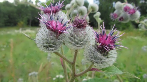 Graceful thistle