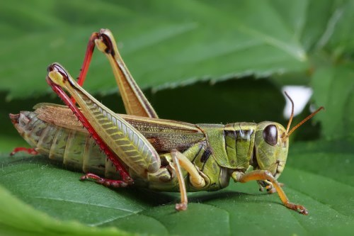Grasshoppers – cute green hoppers