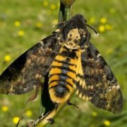 Great Death's-head hawkmoth