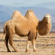 Great camel