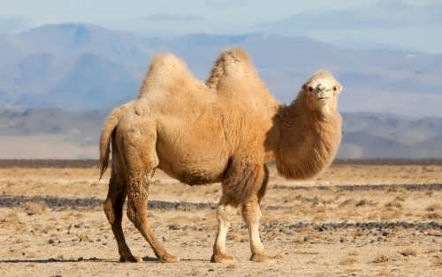 Great camel
