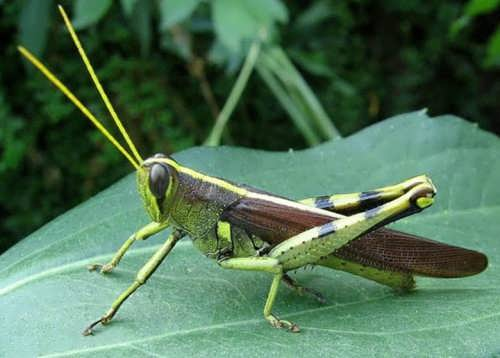 Great grasshopper