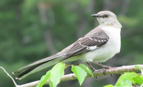 Great mockingbird