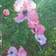 Great poppies