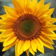 Great sunflower