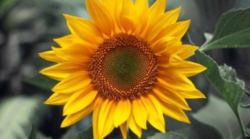 Great sunflower