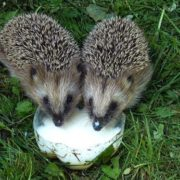 Gorgeous hedgehogs
