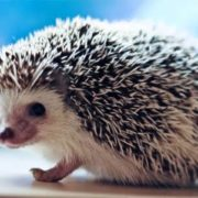Beautiful hedgehog