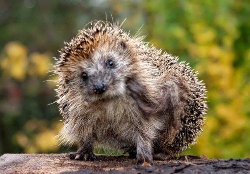 Beautiful hedgehog