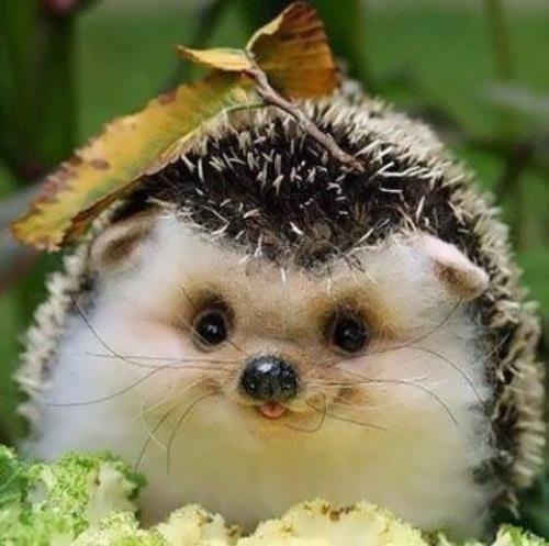 Lovely hedgehog