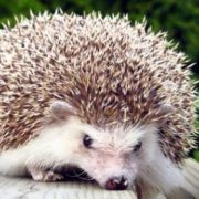 Stunning hedgehog