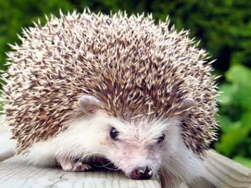 Stunning hedgehog