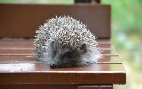 Hedgehog on the bench