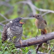 Host bird and young cuckoo