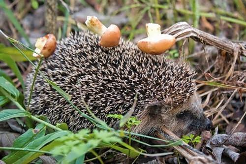 In fact, they don't carry mushrooms on their backs