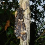 Interesting Death's-head hawkmoth