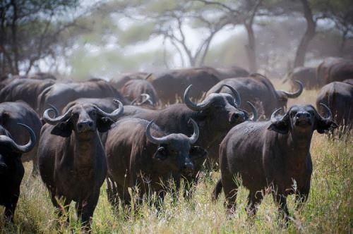 Interesting buffalo
