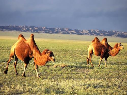 Interesting camels