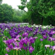 Interesting irises