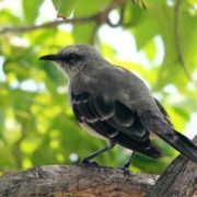 Interesting mockingbird