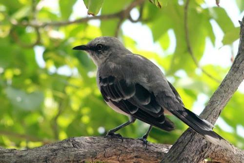 Interesting mockingbird
