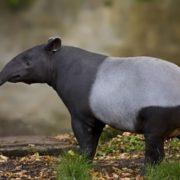 Interesting tapir