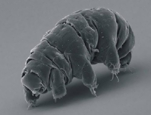 Interesting water bear