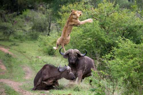 Lion vs buffalo