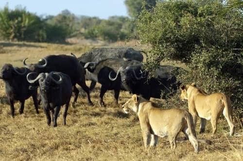 Lions and buffalo