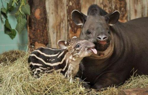 Little calf and its mother