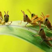 Little cute grasshoppers