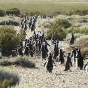 Los Pingvinos