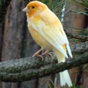 Lovely canary