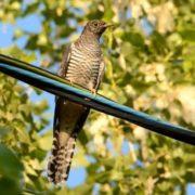 Lovely cuckoo
