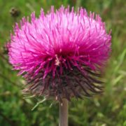 Lovely thistle
