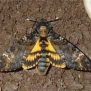 Magnificent Death's-head hawkmoth