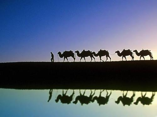 Magnificent camels